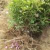 山东四季玫瑰基地直供0-8分枝,地苗、营养钵苗各种高度规格