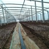 山东绿化玫瑰苗一手货源,1-6年各种规格型号大量供应