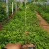 基地直供质优价廉四季玫瑰苗多季玫瑰苗木绿化玫瑰苗木