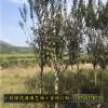 小叶紫薇福建基地种植 苗圃自销 质优价廉 规格齐全