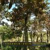 大叶紫薇福建基地种植供应 规格齐全 出售大叶紫薇地苗