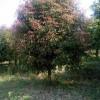 火棘球、蔷微、八月桂、乌桕、枫杨、垂丝海棠、柿树、臭椿、苦楝