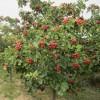 板栗、枇杷、木瓜、西府海棠、柿树、核桃、樱桃、梨树枣树、朴树