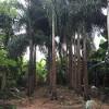 低价批发狐尾椰子地苗袋苗杆高1-4米,量大从优