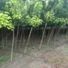 处理花叶复叶槭