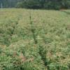 杜英小苗200万棵~杜英2公分~杜英3公分~杜英江西罗市苗木