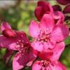 临沂兴旺苗木繁育合作社繁育各种果树苗,花卉苗木。