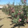 临沂兴旺苗木繁育合作社供应烟富8苹果苗