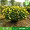 上海双荚槐球常绿灌木,上海双荚槐球园林绿化