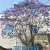 好看的蓝花楹,蓝花樱基地,蓝花樱花树,王少军供
