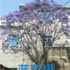 漳州蓝花楹,蓝花樱价格,蓝花樱图片,王少军供