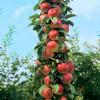 临沂兴旺苗木繁育合作社供应优质流苏苗