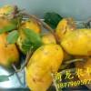 供应高产量优质九月黄金蕉种子/种苗
