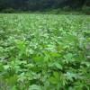 供应枫香小苗·1米枫香·地径1公分枫香小苗