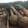 低价批发中东海枣地苗袋苗杆高2-7米,量大从优,价格便宜