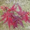 日本红枫三季红 三季红红枫树苗 三季红基地
