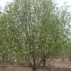 海棠树,海棠树苗价格.海棠树有多少种,海棠基地