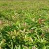 优质1年生木荷小苗·当年木荷小苗·1公分木荷小苗