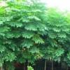 供应1公分栾树·1米栾树·优质1年生栾树小苗