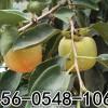 供应15-20-30-50公分柿子树多钱一棵