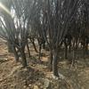 园艺场出售木槿树形佳成活率高泰安木槿