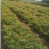 供应米径3公分栾树·高度3米栾树小苗