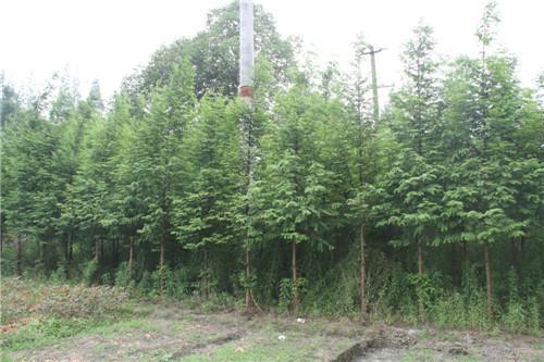 2公分水杉小苗