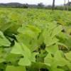 供应当年马褂木小苗·地径1公分马褂木小苗