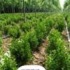 大量供金叶女贞,红叶小檗,锦带,月季等杯苗