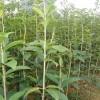 供应1-2公分桂花小苗·1-2米桂花小苗·直销桂花当年小苗