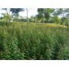 供应三角枫小苗·地径1-2-3公分三角枫·高度1-2米三角枫