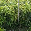江西奉新供应木荷杯苗、枫香杯苗、木荷容器苗、枫香容器苗