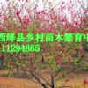 运城柿子树柿子苗基地1-50公分山西柿子苗价格