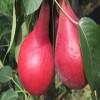 新品种梨苗早酥红梨苗也叫彩虹梨国产红梨数他好