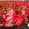 出售美国红枫 秋火焰扦插苗 苗木种植基地
