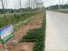 宿迁:农民王聿振投资4.7万元绿化家乡道路