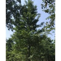2019年银杏树价格,苗圃现挖、质量保证