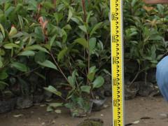 红叶石楠小苗高度H50cm