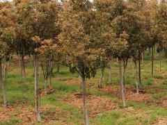 独杆红叶石楠树地径5cm