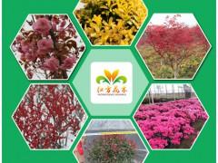 江苏红方花木有限公司,专业生产红叶石楠等彩色容器苗